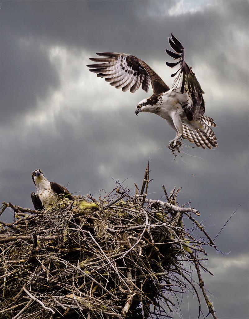 Osprey Bringing Nesting Materials  by jgpittenger