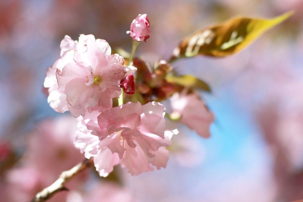 Back Lit Blossoms by lynbonn