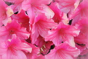 11th Apr 2017 - PINK Profusion