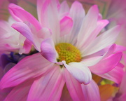 8th Apr 2017 - PINK Daisy