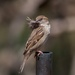Mama Sparrow feathers her nest by berelaxed