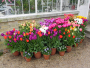 12th Apr 2017 - Tulips in pots