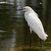 Snowy Egret! by rickster549