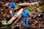 10th Apr 2017 - Blue Mushrooms