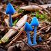 Blue Mushrooms by dkbarnett