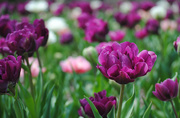 13th Apr 2017 - The Girliest of Tulips