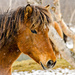 More Icelandic horse 2 by elisasaeter