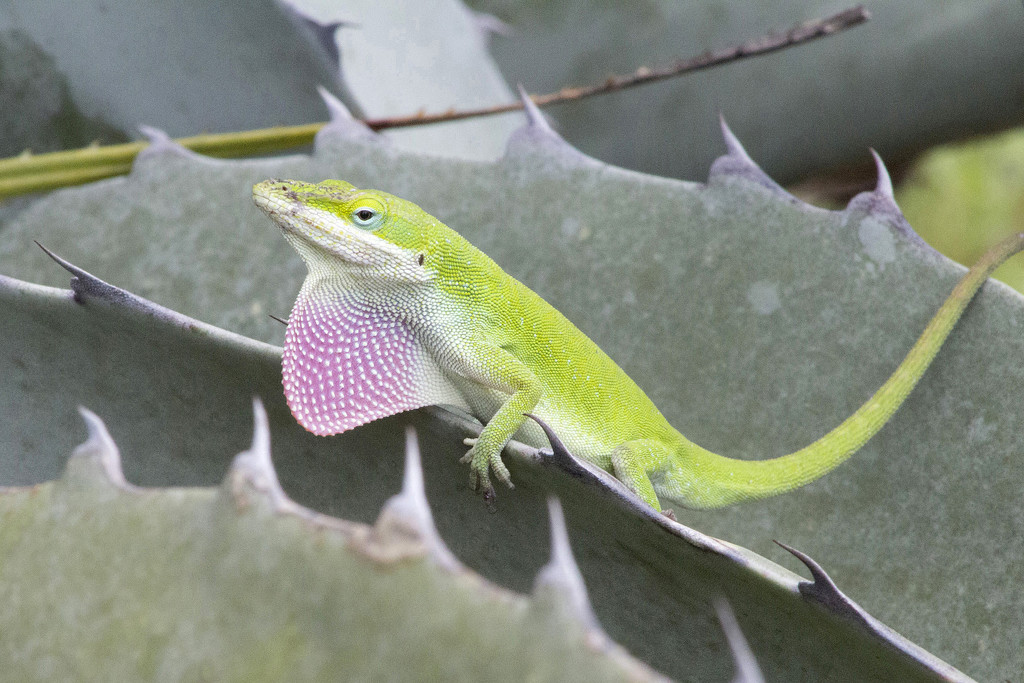 Anole on Agave by gaylewood