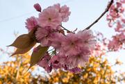 12th Apr 2017 - Cherry blossom.....