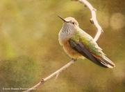 14th Apr 2017 - Hummingbird