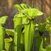 LHG_2935  Pitcher Plants