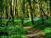 14th Apr 2017 - A walk through the bluebells...