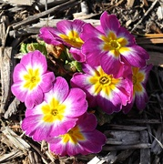 14th Apr 2017 - Some smiling primrose