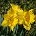 Daffodils Along the Driveway