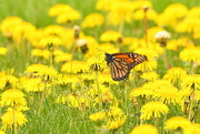 14th Apr 2017 - Monarch and Dandelions