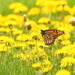 Monarch and Dandelions by kareenking