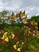 14th Apr 2017 - Caesalpinia gilliesii, the Yellow Bird of Paradise