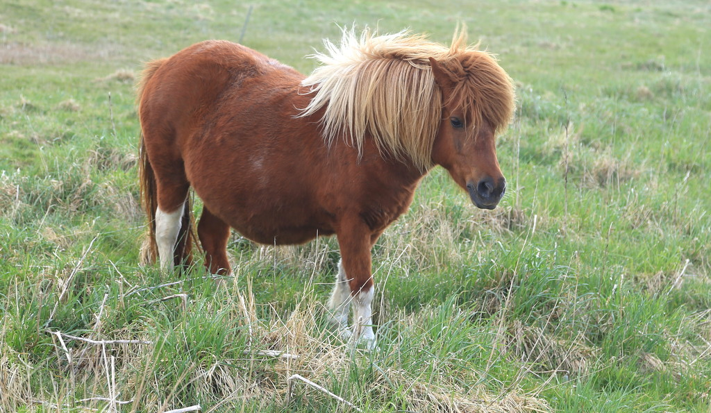 Shetland Pony by lifeat60degrees