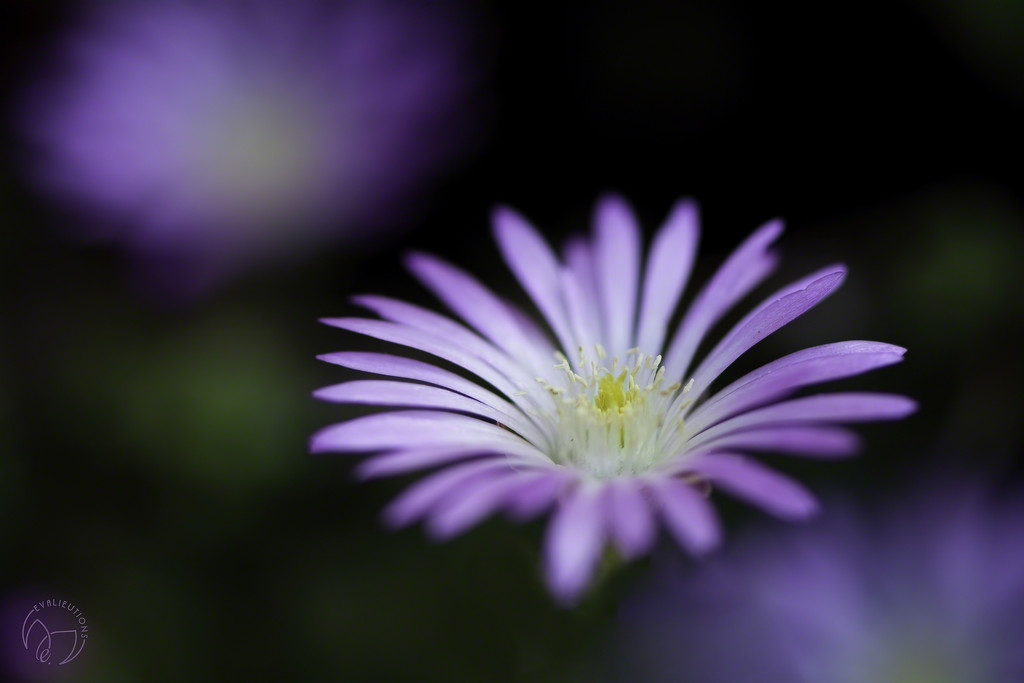 Tiny Purple Flower by evalieutionspics