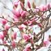 Magnolia by vera365