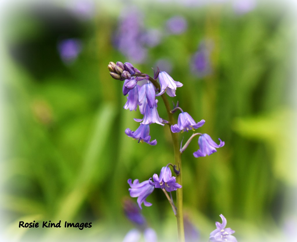 Bluebells by rosiekind