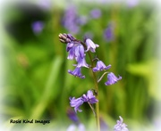 15th Apr 2017 - Bluebells