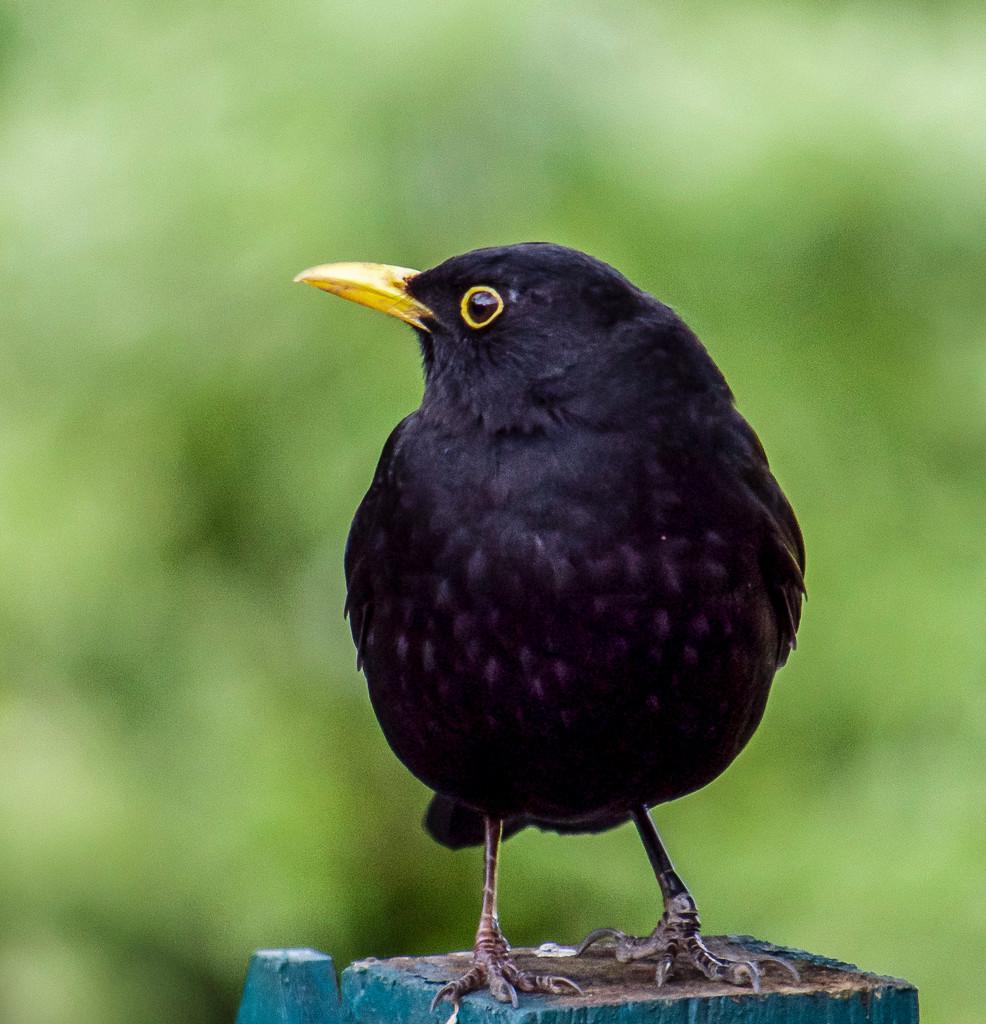 Billy The Blackbird by tonygig