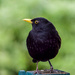 Billy The Blackbird by tonygig