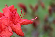 15th Apr 2017 - Flaming Azalea