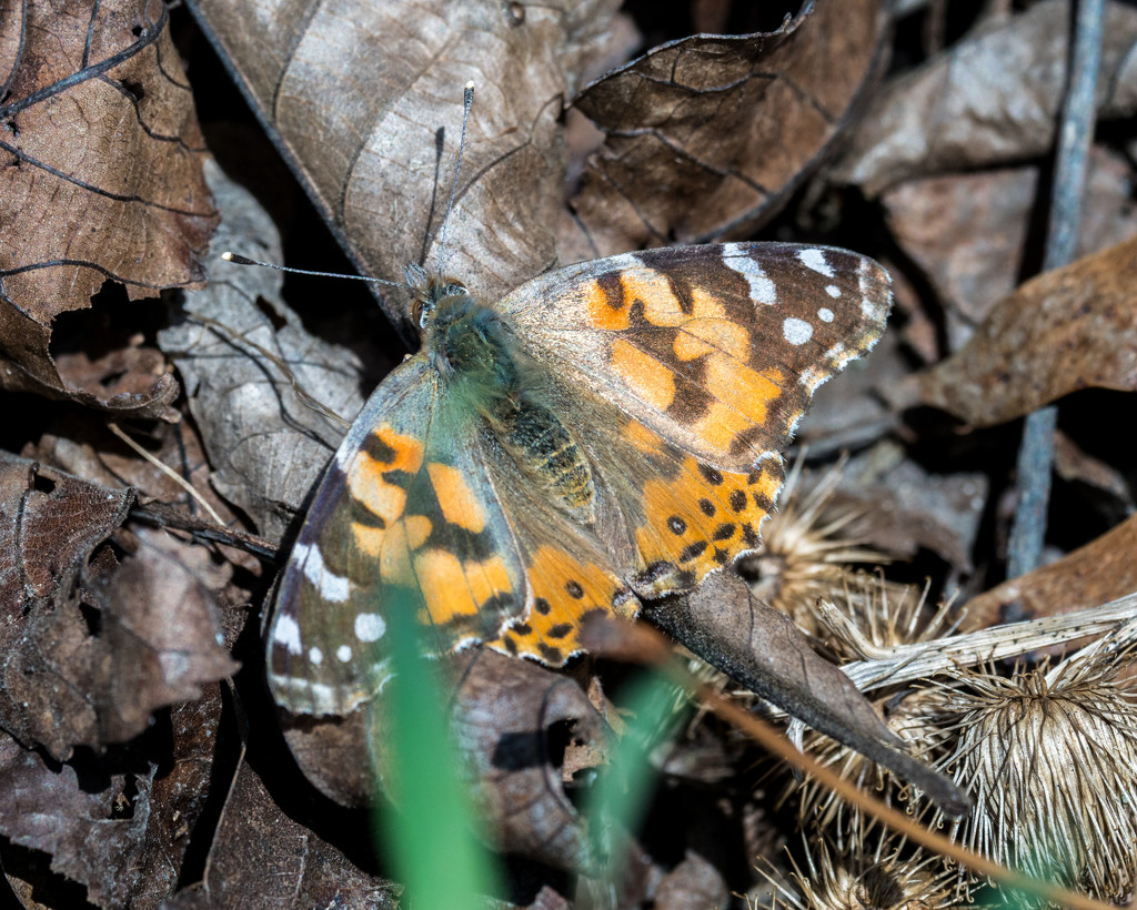 American Painted Lady Butterfly Top View by rminer