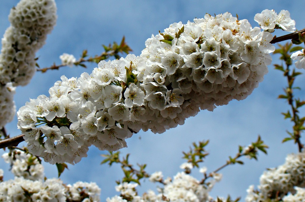 blossom time by gijsje