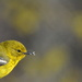 Pine warbler by sailingmusic