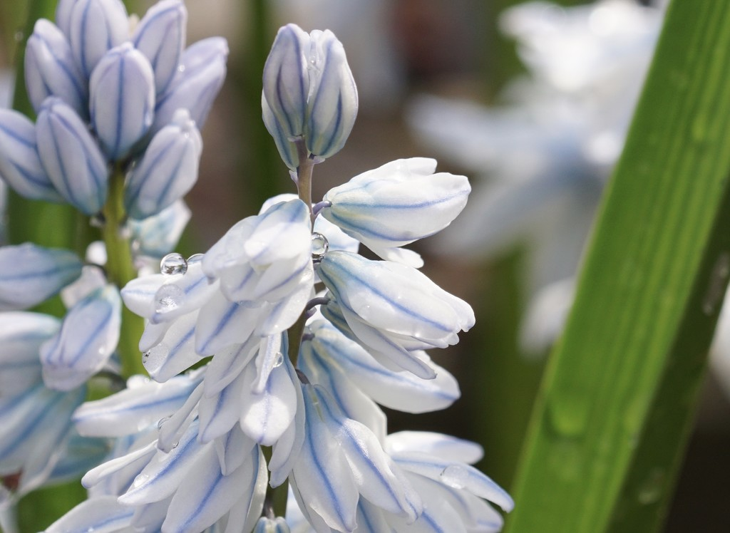 striped squill by amyk