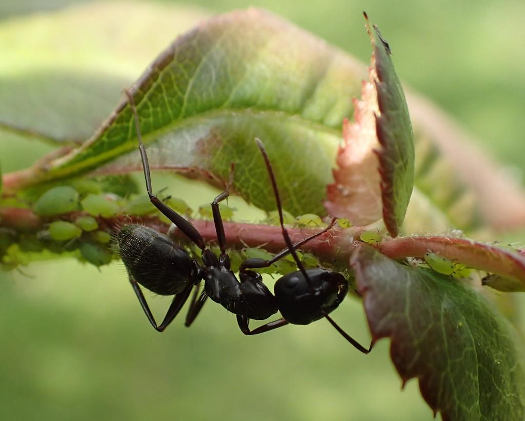 Carpenter Ant by cjwhite
