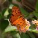 Gulf Fritillary Butterfly! by rickster549
