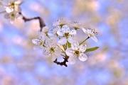14th Apr 2017 - more blossoms