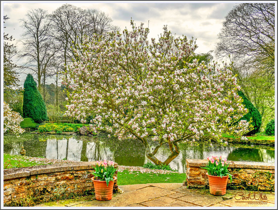 Magnolia Tree,Coton Manor Gardens by carolmw
