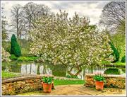 16th Apr 2017 - Magnolia Tree,Coton Manor Gardens