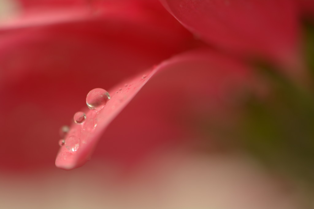 Salmon pink petals and droplets... by ziggy77