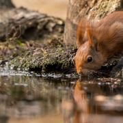 16th Apr 2017 - Red Squirrel