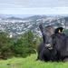 City Cow by yaorenliu