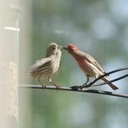 16th Apr 2017 - House finch couple flirting