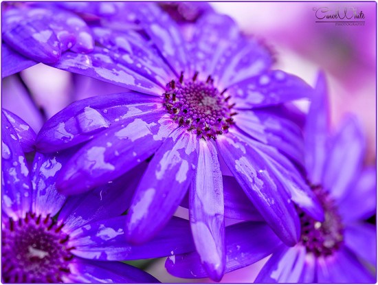 Flowers In The Rain (Senetti) by carolmw