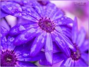 17th Apr 2017 - Flowers In The Rain (Senetti)
