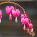Bleeding Heart (Dicentra)