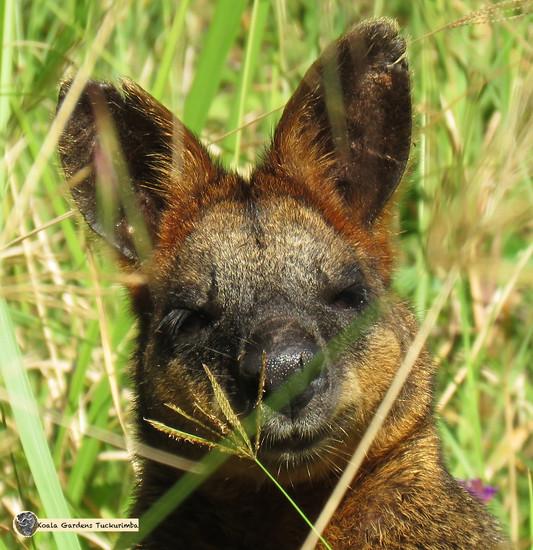 macropods by koalagardens