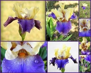 17th Apr 2017 - One bearded iris open, let the photographing begin! LOL!