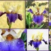 One bearded iris open, let the photographing begin! LOL! by homeschoolmom