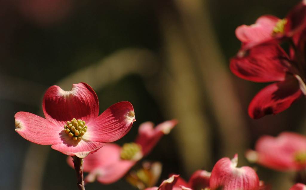 Dogwood Therapy by alophoto