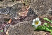 18th Apr 2017 - White tulip